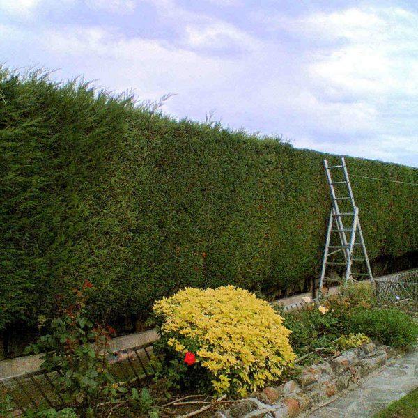 hedge-cutting-1